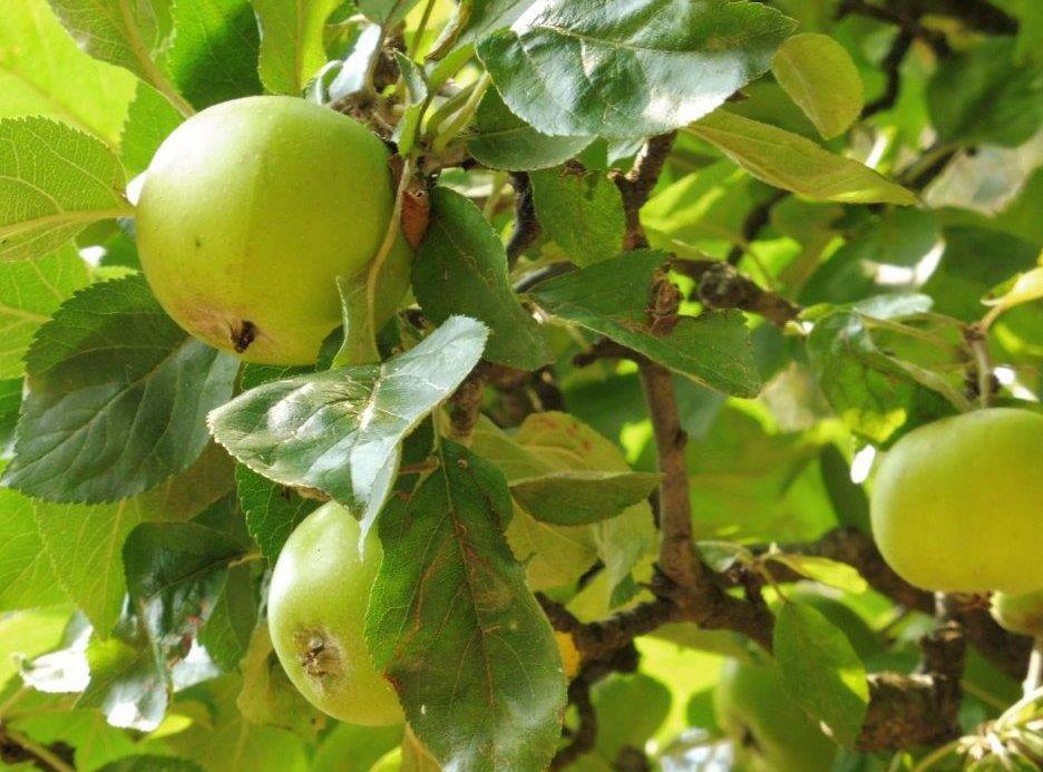2015 M8 Ernte Äpfel 002