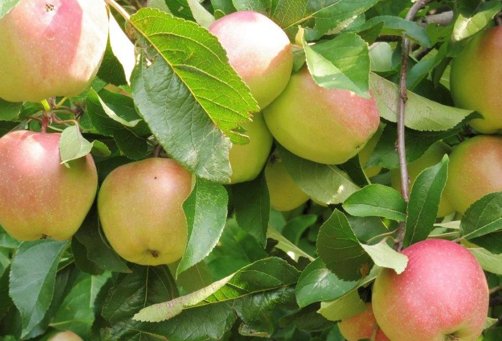 2015 M8 Ernte Äpfel 007