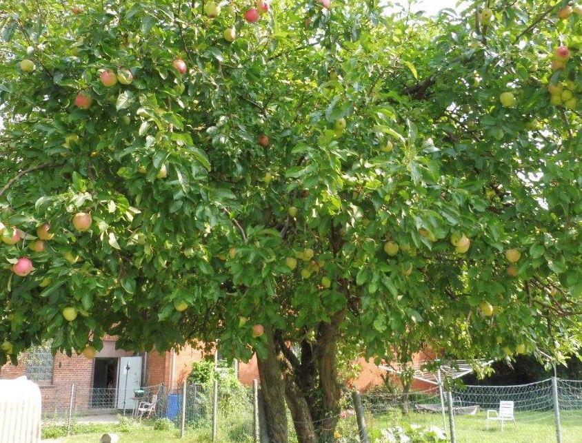2015 M8 Ernte Äpfel 010