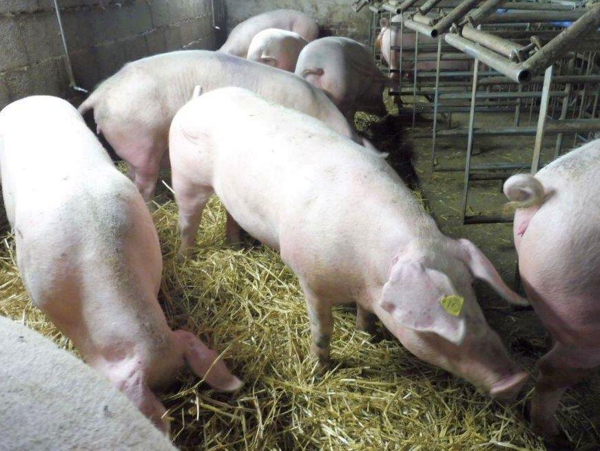 2015 A9 Freise Schweine 007