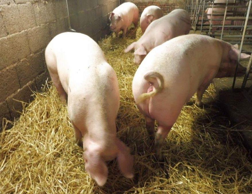 2015 A9 Freise Schweine 010