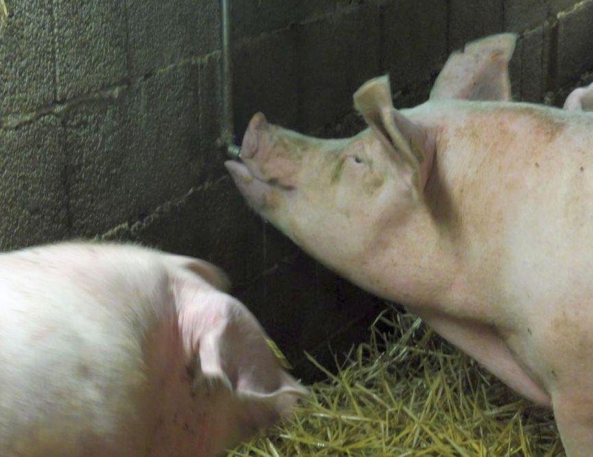 2015 A9 Freise Schweine 011