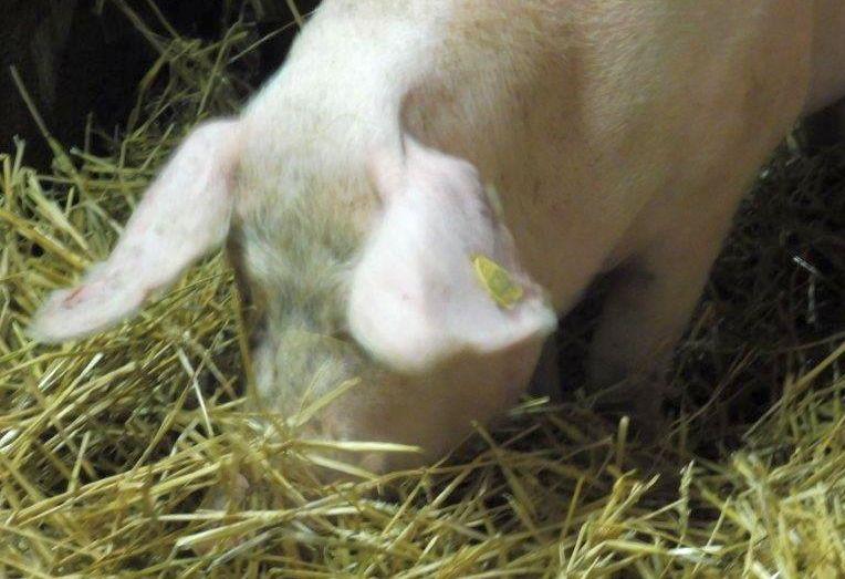 2015 A9 Freise Schweine 016