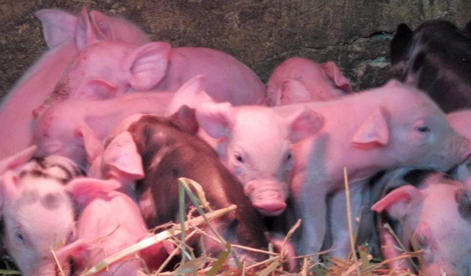 2015 A9 Freise Schweine 013