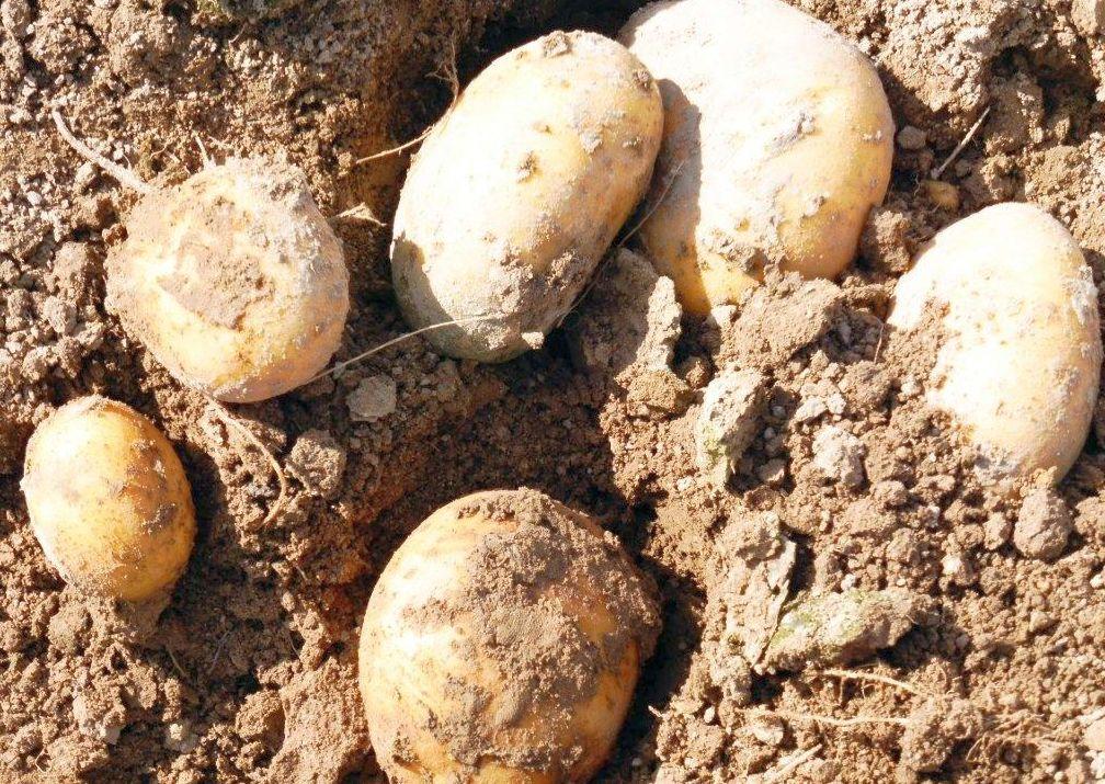 2015 M9 Ernte Kartoffeln 015
