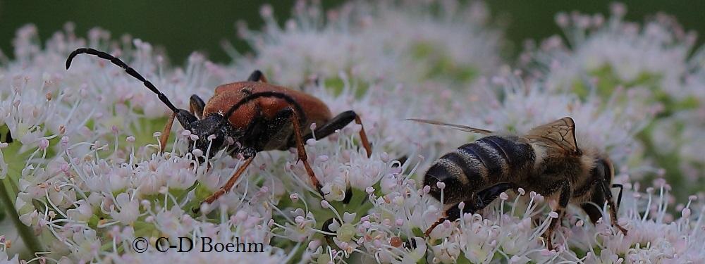 11 Wildbienen und Kaefer