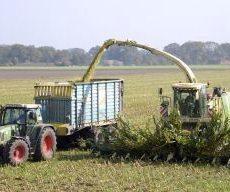 Landwirte gehen von vielversprechender Maisernte aus