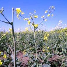 Zu warm und zu trocken: Rapsblüte enttäuscht Ackerbauern