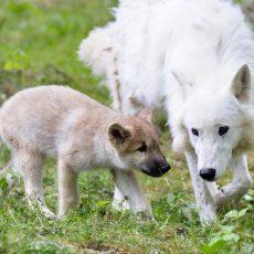 Kleiner Polarwolf fühlt sich im Wisentgehege auch bei 30 Grad pudelwohl