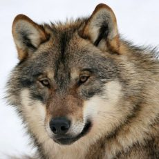 Fachvortrag klärt über das Leben und die Verbreitung von Wölfen auf