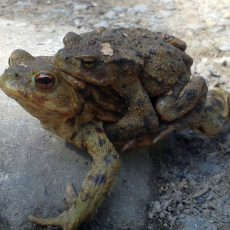 Amphibienwanderung beginnt in den nächsten Tagen