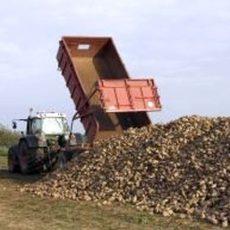 Landwirte befürchten eine noch schlechtere Zuckerrübenernte als im Vorjahr