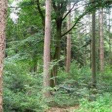 Landesforste wollen dem Klimawandel mit stabilen Mischwäldern Paroli bieten