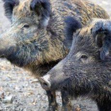 Landwirte sehen Niedersachsen bei der Bekämpfung der Afrikanischen Schweinepest in der Pflicht