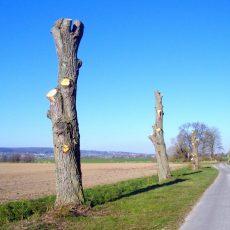 Ist das noch Baumpflege? – Naturschützerin Hannelore Owens ist entrüstet