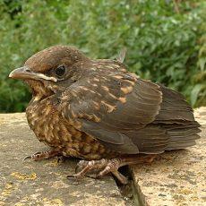 Vermeintlich hilflose Jungvögel sollte man in Ruhe lassen