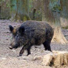 Bauernverband warnt vor katastrophalen Folgen der Afrikanischen Schweinepest