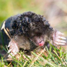 Jäger und Bodenspezialist: Der Maulwurf ist das Wildtier 2020
