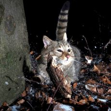 Seltene Fotoaufnahmen: Wildkatzen durchstreifen gut getarnt den Deister