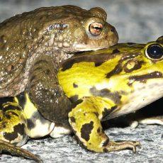 Frosch, Kröte & Co gehen wieder auf Wanderschaft