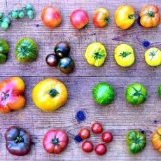 Tomatenbörse auf der Ökostation findet mangels Tomaten nicht statt