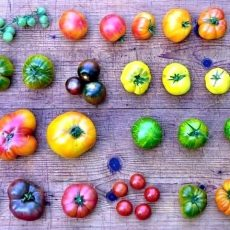 Terminänderung: Tomatenbörse der Ökostation findet am 23. Mai statt