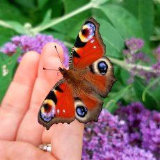 Echo-Leserin Svea Triebsch sind ganz tolle Schmetterlingsfotos im eigenen Garten gelungen
