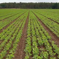 Sojabohnen aus regionalem Anbau sind im Kommen