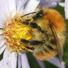 """Die Ackerhummel ist die Königin des """"Insektensommers"""""""