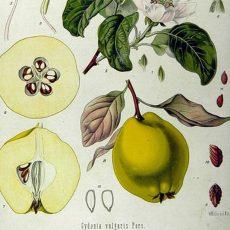 Neben Äpfeln können jetzt auch Quitten in der Ökostation gemostet werden